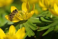 Biene montiert Nektar Stockbild