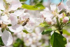 Biene montiert Nektar Lizenzfreies Stockfoto