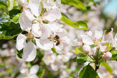 Biene montiert Nektar Lizenzfreie Stockfotos