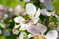 Biene montiert Nektar Lizenzfreie Stockfotografie