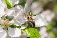 Biene montiert Nektar Stockfotografie