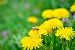 Biene montiert Nektar Stockbilder