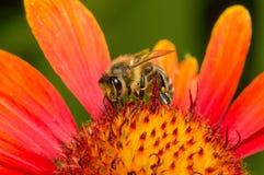 Biene montiert Nektar von einer Blume Lizenzfreies Stockbild