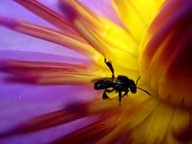 Biene n Blüte lizenzfreie stockfotografie