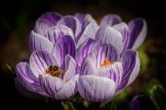 Biene am niederländischen Krokus Stockfoto