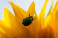 Biene sammeln Nektar von einer Sonnenblume in archiviert lizenzfreie stockbilder