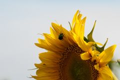 Biene sammeln Nektar von einer Sonnenblume in archiviert lizenzfreies stockfoto
