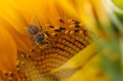 Biene sammeln Nektar von einer Sonnenblume in archiviert lizenzfreies stockbild