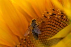 Biene sammeln Nektar von einer Sonnenblume in archiviert lizenzfreie stockfotografie