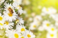 Biene sammeln Nektarblütenstaub von den weiße Blume Astern auf einem GR Lizenzfreies Stockbild
