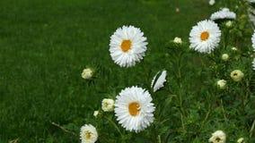 Biene sammelt Blütenstaub auf weißem Gänseblümchen - grüner Wiesenhintergrund stock video