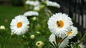 Biene sammelt Blütenstaub auf weißem gerber Gänseblümchen - nahes hohes stock video footage