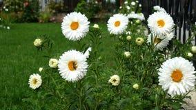 Biene sammelt Blütenstaub auf weißem gerber Gänseblümchen - nahes hohes stock video