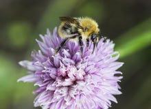 Biene sammelt Blütenstaub vom Schnittlauch Lizenzfreie Stockfotos