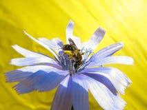 Biene sammelt Blütenstaub von der blauen Blume von cycor auf gelbem Hintergrund lizenzfreie stockfotos