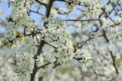 Biene sammelt Blütenstaub von einem Blumenaprikosenbaum Stockfotos