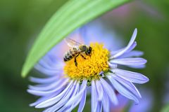 Biene sammelt Nektar auf einer purpurroten Blume Gr?nes Blatt mit einem gro?en Wassertropfen stockfoto