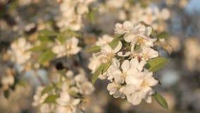 Biene sammelt Nektar und Blütenstaub von den schönen weißen Blumen von Apfelbaum auf dem Hintergrund des blauen Himmels im Sommer stock video