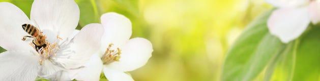 Biene sammelt Nektarblütenstaub von den Blumen eines blühenden qui Lizenzfreie Stockfotografie
