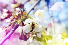 Biene sammelt Nektarblütenstaub von den weißen Blumen eines floweri Lizenzfreie Stockfotografie