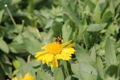 Biene saugen Blütenstaub Stockbild