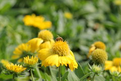 Biene saugen Blütenstaub Stockbilder