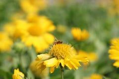 Biene saugen Blütenstaub Lizenzfreie Stockfotos