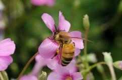 Biene saugt eine Blume lizenzfreies stockfoto