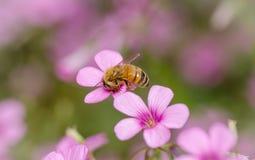 Biene saugt eine Blume stockbilder