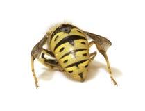 Biene Stinger auf einem weißen Hintergrund - extreme Nahaufnahme stockbild