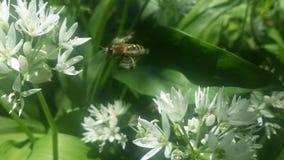Biene stoppen Bewegung mit wildem Knoblauch Stockbild