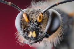 Biene, Tauschen, Honig, Hintergrundblumeninsekten Lizenzfreies Stockbild
