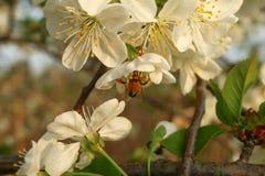 Biene trinkt Nektar des Blühens Stockbild