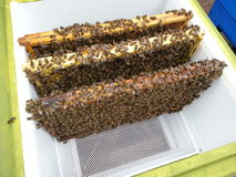 Biene umfasste Rahmen im Bienenstock Stockfotografie