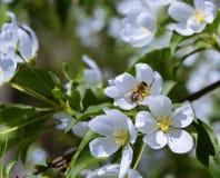 Biene und Apfel Lizenzfreies Stockfoto