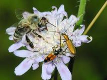Biene und Beatles auf einer Blume Stockfoto