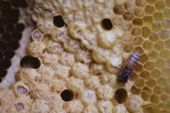 Biene und Bienenwabenclosup und -makroschuß Stockbild