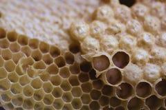 Biene und Bienenwabenclosup und -makroschuß Stockfotografie