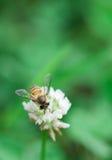Biene und Blume Stockfoto
