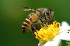 Biene und Blume Lizenzfreie Stockfotografie