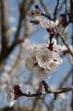 Biene und Cherry Flowers - Niederlassung eines bloosoming chery Baums Lizenzfreies Stockfoto