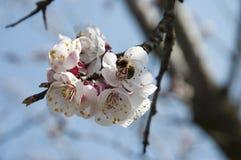 Biene und Cherry Flowers - Niederlassung eines bloosoming chery Baums Lizenzfreie Stockfotos