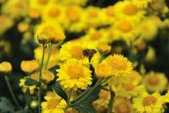 Biene und Chrysantheme Stockfotografie