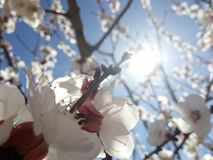 Biene und flowers& x27; s-Frühling Lizenzfreies Stockbild