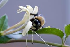 Biene und Geißblatt Lizenzfreie Stockfotos