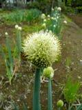 Biene und irgendein Gemüse Stockfotografie