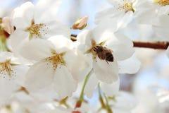Biene und Kirsche Lizenzfreie Stockbilder