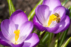 Biene und Krokusse Stockfoto