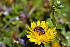 Biene und Löwenzahn Stockfotos
