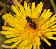 Biene und Löwenzahn Stockbilder